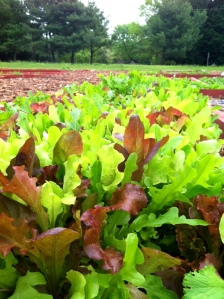 mesclun in ground