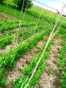 peas in B1 spring