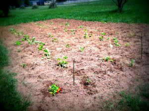 squash patch 2015 at planting