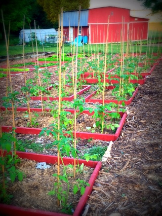cherry tomatoes at planting