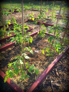 cherry tomatoes at planting2