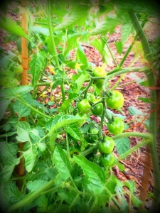green cherry toms 5-27