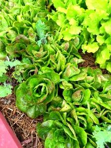 lettuce box late spring 2