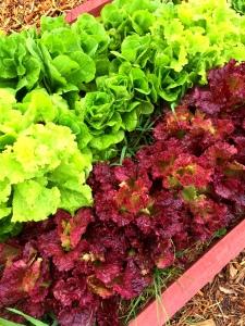 lettuce box late spring 3