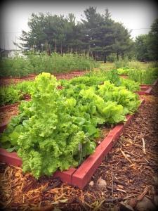 lettuce box late spring