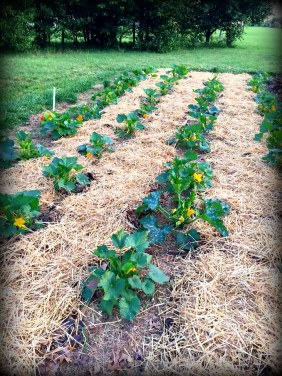 squash patch with mulch