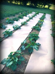 squash patch with paper