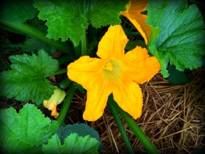 zucchini flower 5-27