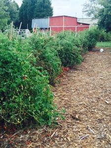 giant cherry tom plants