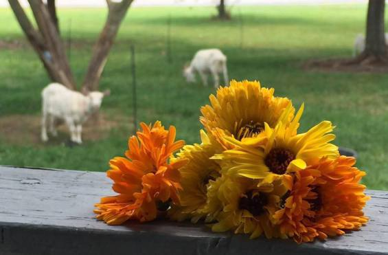 calendula-with-goats