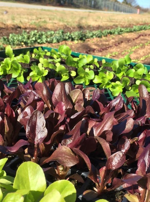 lettuce seedlings spring